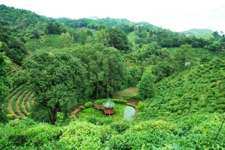 Tee-Plantagen beim Laolee Hill Resort in Doi Wawee, Thailand