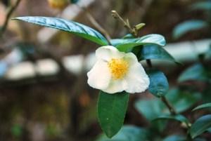 Teeblume in Ban Sie Phan Rai auf dem Doi Tung, Nordthailand, in der Blüte