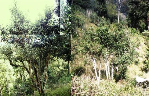 Bai Yai Assamica Teebäume, Provinz Mae Hong Son
