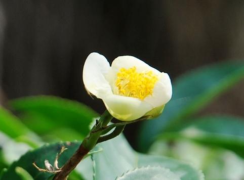 DMS Jin Xuan Oolong Nr. 12, frühe Blüte im Februar 2013 in unseren Teegärten in Doi Mae Salong