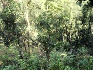 Natürlicher Lebensraum wilder Teebäume in Nordthailand