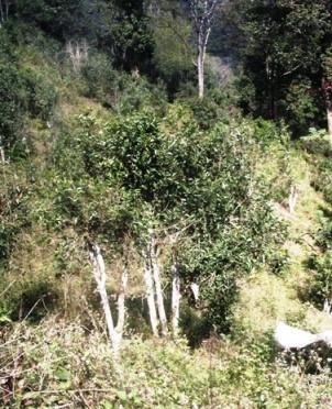 Wilder Tee-Baum in Nordthailand 2