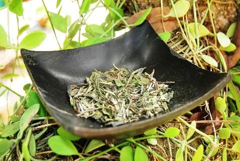 Bai Mu Dan Weißer Tee, Display in meinem Garten