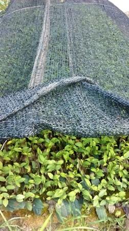 Junge Tie Guan Yin Teepflanzen-Setzlinge