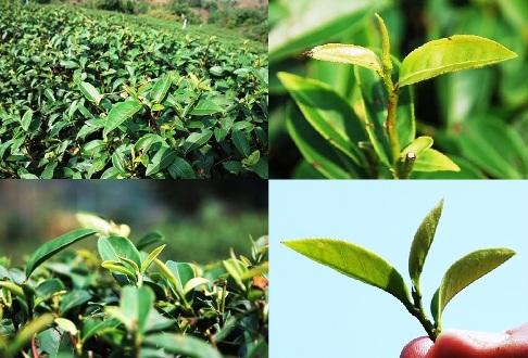 Four Seasons Oolongtee-Kultivar aus Taiwan in einem Teegarten in Nordthailand