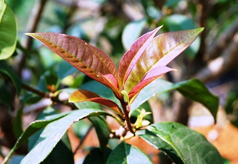Cing Xin Teekultivar in Nordthailand - junge rote Blätter nach ihrer Entfaltung im Februar