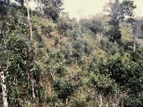 Biodivers kultivierte, 300+ Jahre alte Teebäume in Nordthailand