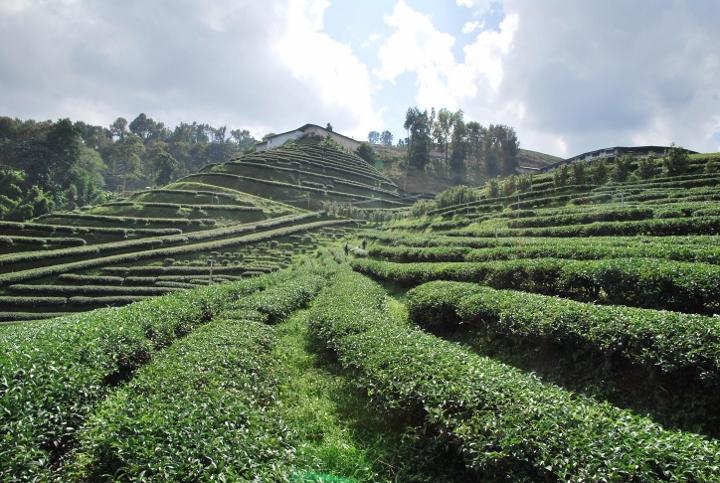 Teegärten prägen das Stadtbild und Umland von Doi Mae Salong