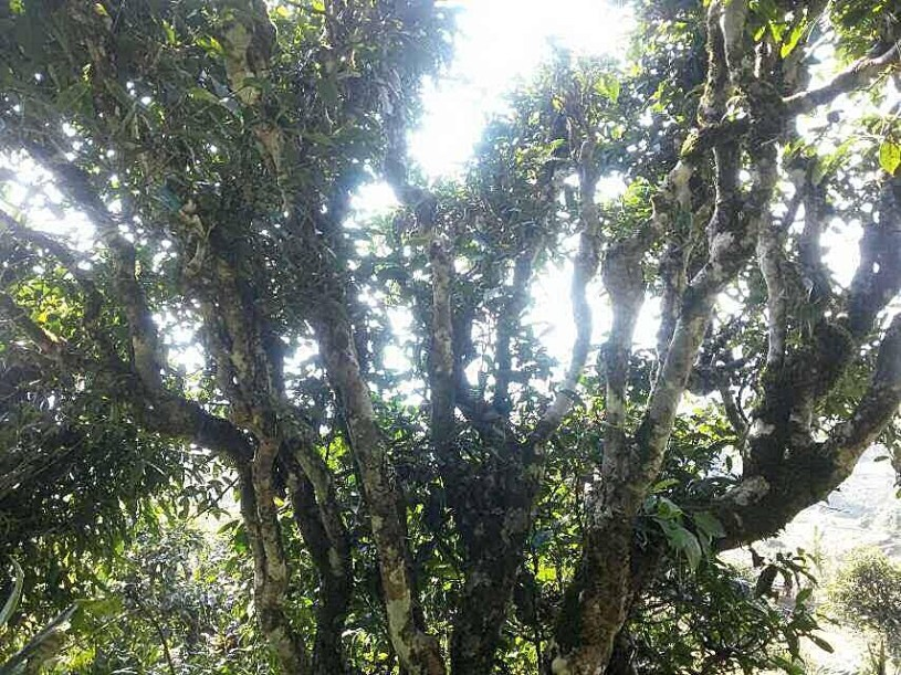 "Ancient wild ""Tuyet Shan"" (""Snow High Mountain"" or ""Snow Shan"") tea tree in Vietnam, 15 m high"