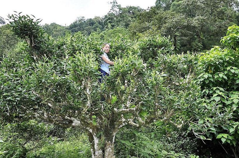 Picking tea leaves on high tea trees is hard work - here: Ha Giang, Vietnam