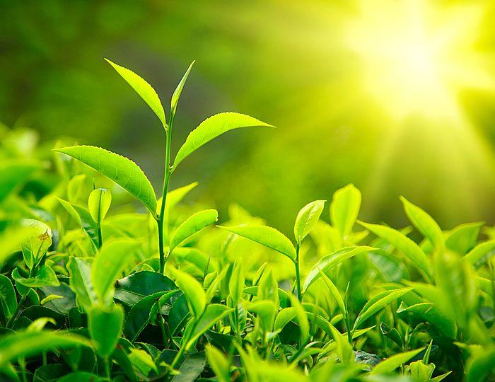 Die Teepflanze - Camellia Sinensis