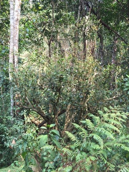 Teebaum in Nordthailand