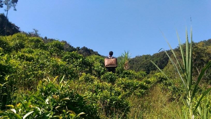 Teegarten in Xiengkhouang, Laos