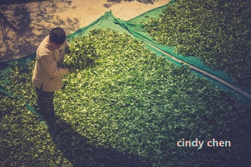 Cindy Chen - Teeblätter werden zum Welken in der Sonne ausgebreitet - Zhengyan, Wuyishan