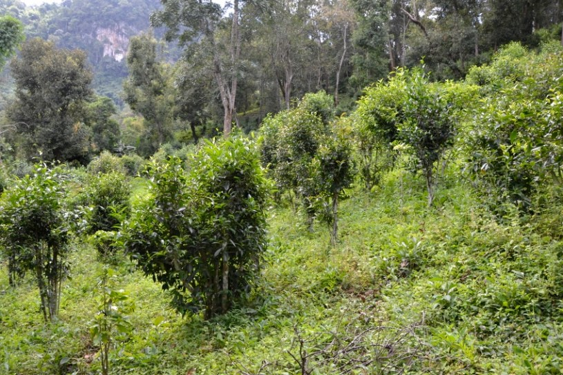 70+ years old tea trees on the outskirts of Pang Kham : up to 2 meters high - this is where ShanTea sheng hei cha is picked from