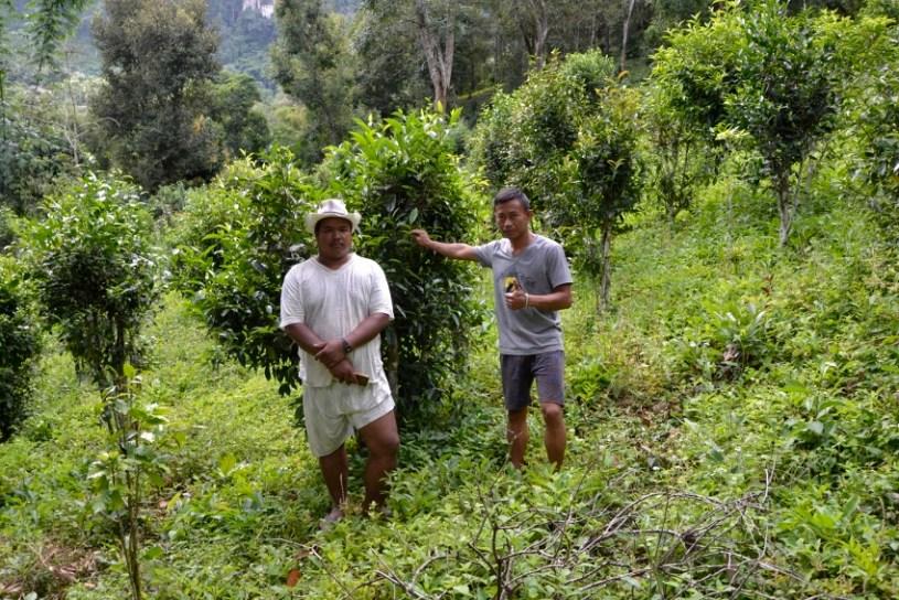 ShanTee Farmer vor ihren Teebäumchen in Pang Kham, Nordthailand
