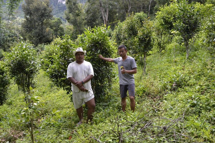 Shan tea farmers proudly present their seed-grown 2m high 70+ years old tea trees