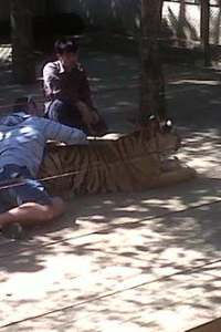 Tiger Kingdom - man petting a grown up tiger