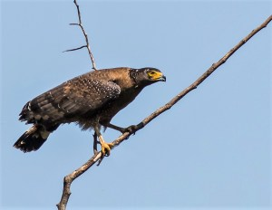 large bird of prey from thailand