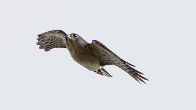 A small accipiter species that migrates through Thailand in the autumn