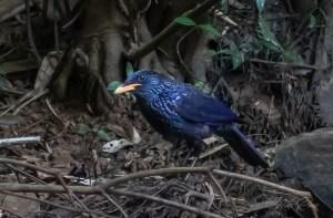 An indigo coloured Thrush found in Thailand