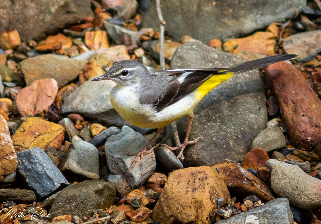a grey and yellow migrant bird found in Thailand