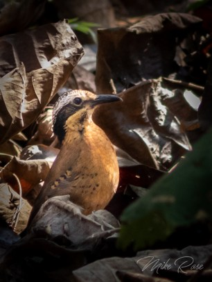 a small mainly brown bird from thailand with distinct white ears