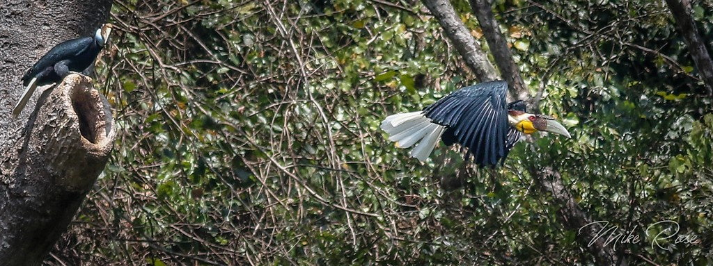 Wreathed Hornbill(M+F)