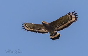 A large eagle found in the forests of Thailand