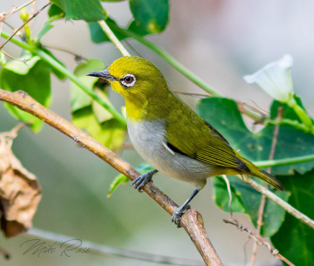 Birds of Thailand