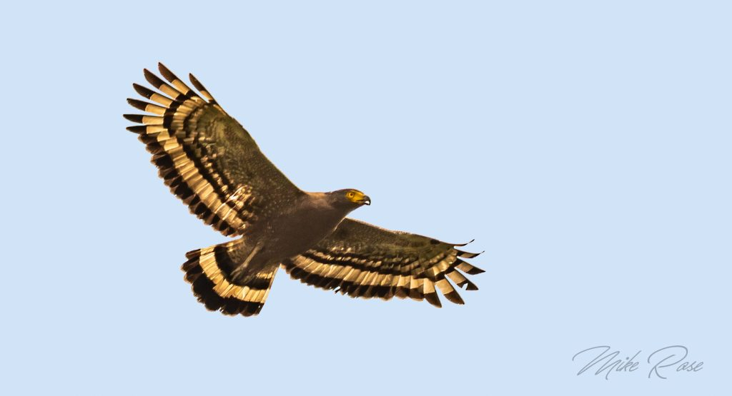 Crested Serpent Eagle is a large raptor found in the forests of Thailand