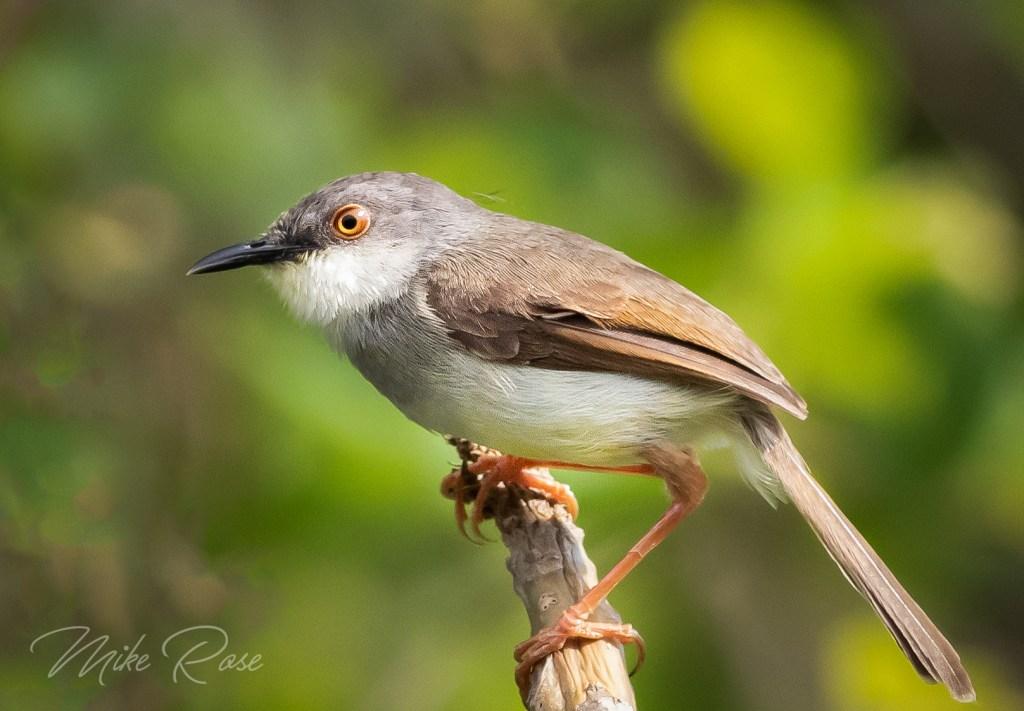small bird found in Thailand