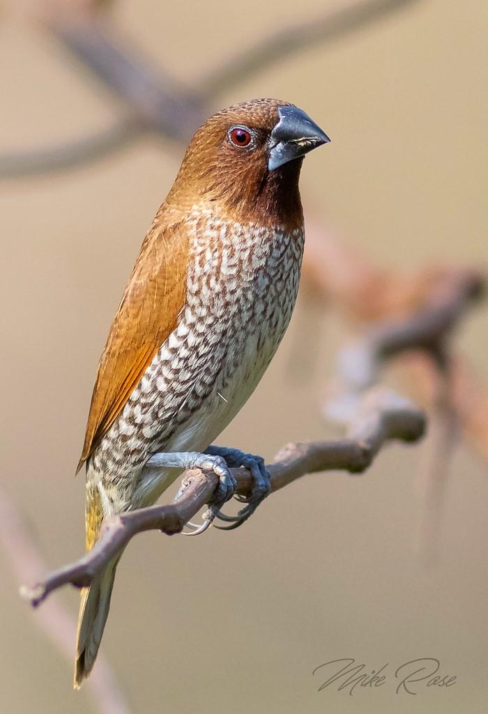a small brown bird found in SE Asia