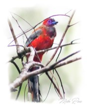 Red Headed Trogon