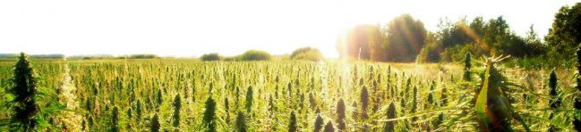 hemp field sunset banner