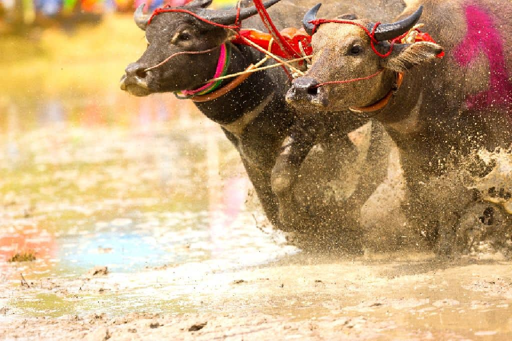 Buffalos racing together in the Buffalo Racing Festival. Thailand Event Guide