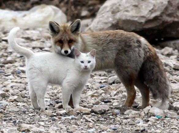 catfox