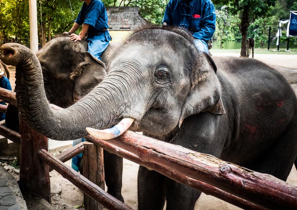 ศูนย์ฝึกช้าง (Elephant Conservation Center)