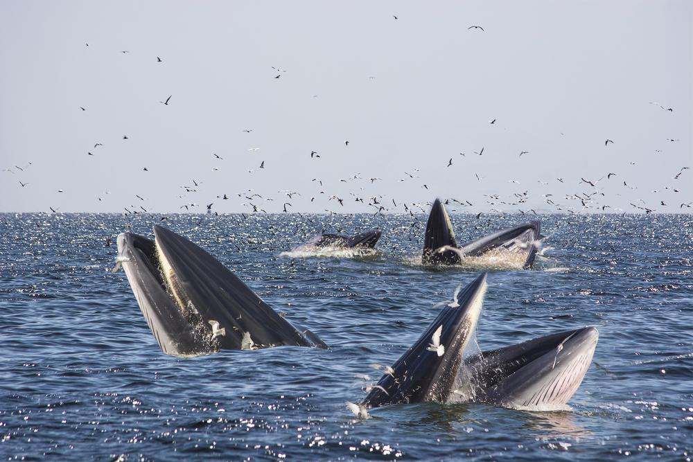 Bryde Whale (ปลาวาฬบรูด้า)