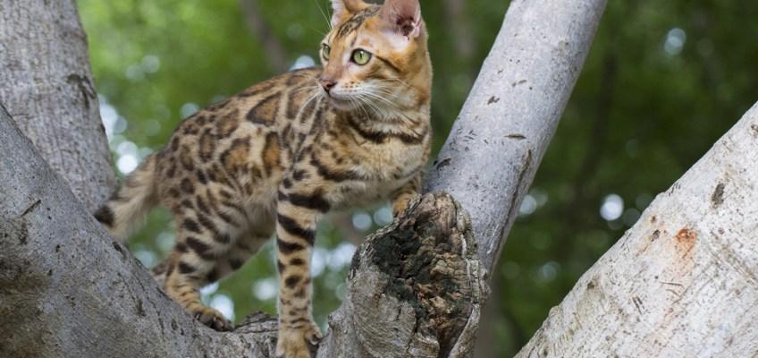 Marble Cat at Hala-Bala Jungle (แมวลายหินอ่อนที่ป่าฮาลา-บาลา)