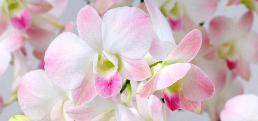 Rare Orchid's Name Pink Nagarindra (กล้วยไม้พันธุ์หายากชื่อ ชมพูนครินทร์)