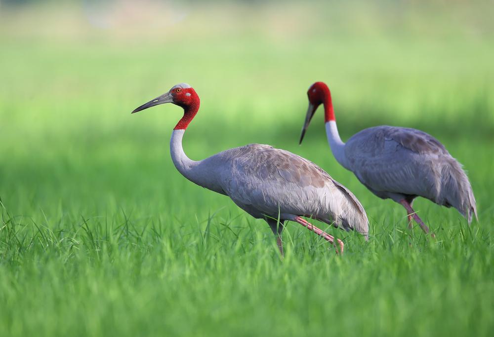 Sarus Crane (นกกระเรียนพันธุ์ไทย)