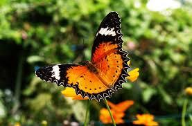 butterflysamui2