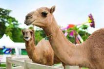 camelrepublic5