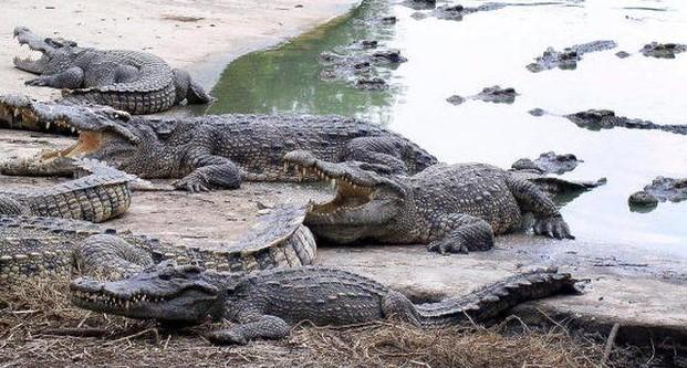 Крокодилы в Таиланде