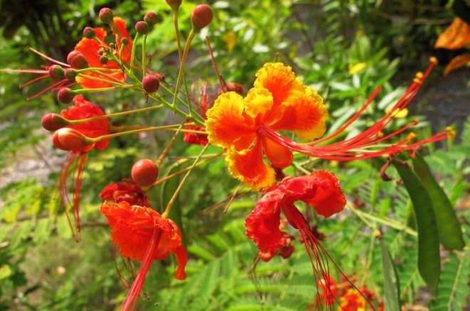 Цветы Таиланда - Цезальпиния