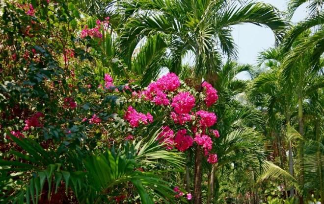 Цветы Таиланда - Бугенвиллея