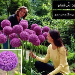 เมล็ดพันธุ์ดอกแอลเลี่ยม