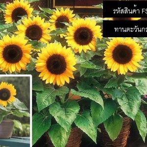 ทานตะวันกระถาง - Dwarf Sunflower Seeds