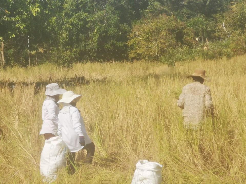 Harvest golden rice Koh Klang